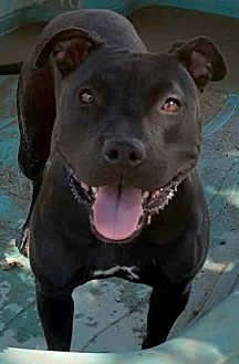 American Staffordshire Terrier Mix Dog for adoption in Toluca Lake, California - Jaysie