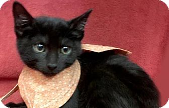 Domestic Shorthair Kitten for adoption in Voorhees, New Jersey - Bellona
