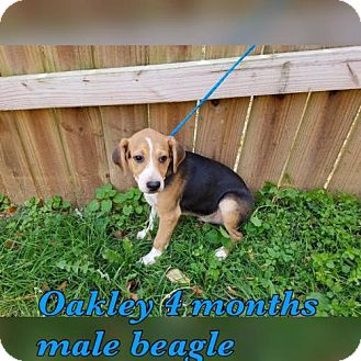 Beagle Mix Dog for adoption in Pomfret, Connecticut - OAKLEY
