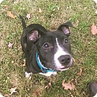 Pit Bull Terrier/American Bulldog Mix Dog for adoption in Northeast, Ohio - BOLT