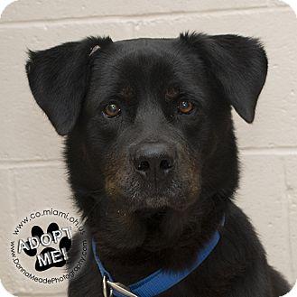 Rottweiler Mix Dog for adoption in Troy, Ohio - Luke- Adoption Pending
