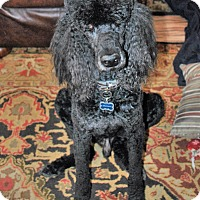 Standard Poodle Dog for adoption in Bay City, Michigan - Carter