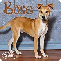 Adopt A Pet :: Bose - Valparaiso, IN