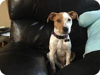 Pointer Mix Puppy for adoption in DeForest, Wisconsin - Strauss