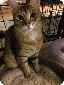 Bengal Cat for adoption in Tracy, California - Joanna