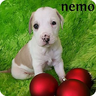 American Bulldog/Retriever (Unknown Type) Mix Puppy for adoption in Plano, Texas - Nemo