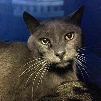 Domestic Shorthair Cat for adoption in Morgan Hill, California - Nadius