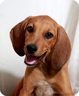 redbone coonhound beagle mix