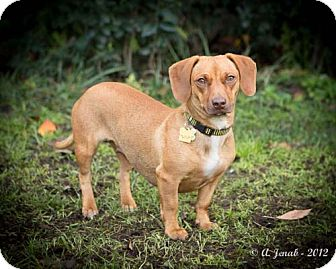 Dachshund Mix Dog for adoption in San Jose, California - Dolly