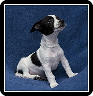 Jack Russell Terrier/Fox Terrier (Toy) Mix Puppy for adoption in Ft. Bragg, California - Zip