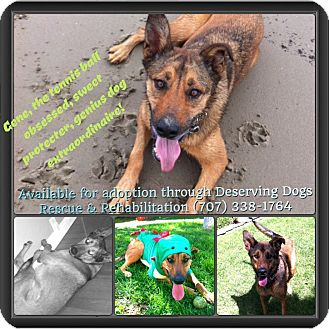 German Shepherd Dog/Belgian Malinois Mix Dog for adoption in Santa Barbara, California - Gene