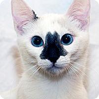 Adopt A Pet :: Bibou - Irvine, CA