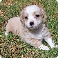 Adopt A Pet :: Mindy - La Habra Heights, CA