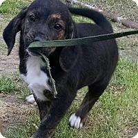 Adopt A Pet :: Crash - Richmond, VA