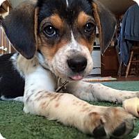 Adopt A Pet :: Nova - Warsaw, IN