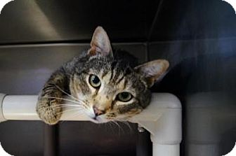 Domestic Shorthair Cat for adoption in New Milford, Connecticut - Blake