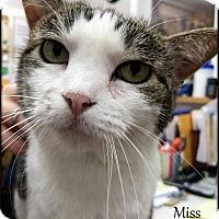 Domestic Shorthair Cat for adoption in Ottumwa, Iowa - Miss Kitty