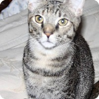 Domestic Shorthair Cat for adoption in Saint Augustine, Florida - Squirrel