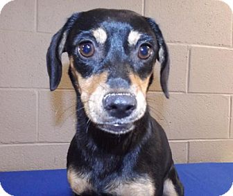 Beagle Mix Dog for adoption in Oxford, Mississippi - Marcy