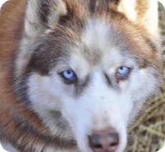 Siberian Husky Mix Dog for adoption in Shingleton, Michigan - Bear - SANCTUARY