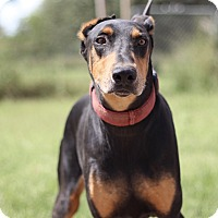 Doberman Pinscher Mix Dog for adoption in McAllen, Texas - Roger