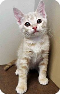 Domestic Shorthair Kitten for adoption in Oswego, Illinois - ADOPTED!!!   Garth