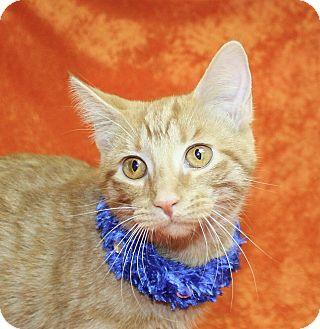Domestic Shorthair Kitten for adoption in Jackson, Michigan - Sarah