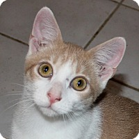 Adopt A Pet :: Creamsicle - Fairfax, VA