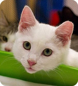 Domestic Shorthair Cat for adoption in Troy, Michigan - Waffle
