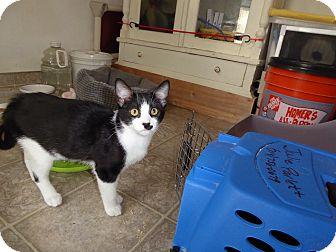 Domestic Shorthair Kitten for adoption in Mission Viejo, California - Stenson
