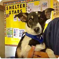 Manchester Terrier/Chihuahua Mix Dog for adoption in San Bernardino, California - URGENT ON 11/22 San Bernardino