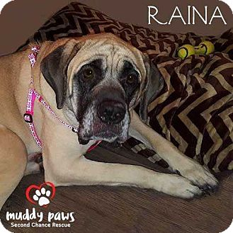 English Mastiff Mix Dog for adoption in Council Bluffs, Iowa - Raina