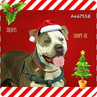 Adopt A Pet :: Travis - URGENT! Moreno Valley - San Bernardino, CA