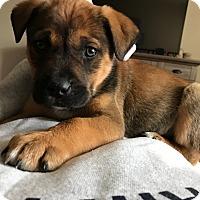 Adopt A Pet :: Apollo - oklahoma city, OK