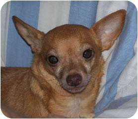 Chihuahua Mix Dog for adoption in Seattle, Washington - Cooper
