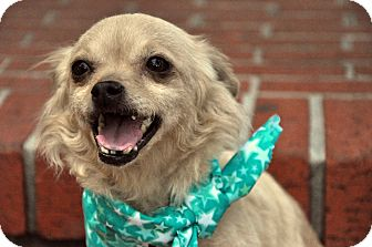 Chihuahua/Pomeranian Mix Dog for adoption in Houston, Texas - Tia