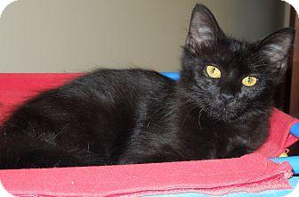 Domestic Longhair Kitten for adoption in Vero Beach, Florida - Bingo