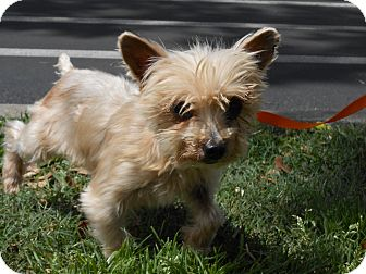 Yorkie, Yorkshire Terrier Mix Dog for adoption in Gainesville, Florida - Corky