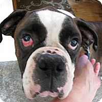 Adopt A Pet :: Mickey Rooney - Dayton, OH