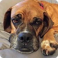 Adopt A Pet :: Taffy - Sinking Spring, PA