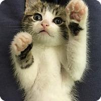 Adopt A Pet :: Houdini - Riverhead, NY