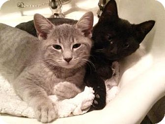Domestic Shorthair Cat for adoption in Queens, New York - Kittens