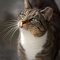Domestic Mediumhair Cat for adoption in Drippings Springs, Texas - Jimmy