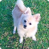 Adopt A Pet :: Leo - Brea, CA