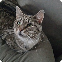 Domestic Shorthair Cat for adoption in Brooklyn, New York - Pandora