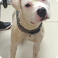 Adopt A Pet :: Chance - Decatur, AL