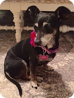 Dachshund Mix Dog for adoption in Pearland, Texas - Coco