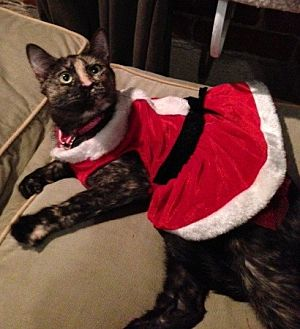 Domestic Shorthair Cat for adoption in Burbank, California - Emma Noel