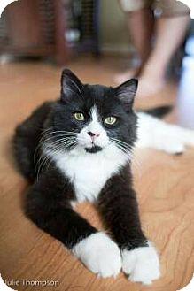 Domestic Longhair Cat for adoption in Boca Raton, Florida - TONKA