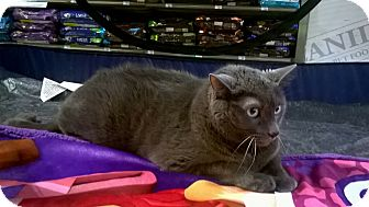 Domestic Shorthair Cat for adoption in Warren, Michigan - Keanu (declawed)